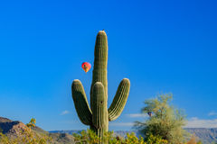 Ballooning over Arizona's Sonoran Desert. A native bird sits atop a Saguaro cactus as colorful hot air balloons glide majestically overhead in Arizona's Sonoran Stock Image