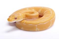 Ballpythonschlange, Pythonschlange königlich stockfotografie
