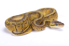 Ballpythonschlange, Pythonschlange königlich lizenzfreies stockbild