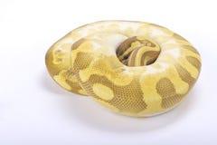Ballpythonschlange, Pythonschlange königlich stockbild