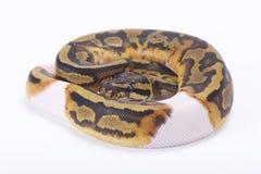 Ballpythonschlange, Pythonschlange königlich lizenzfreie stockbilder