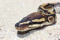 Ballpythonschlangenschlange Stockfoto