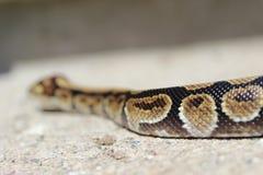 Ballpythonschlangenschlange Stockfotografie