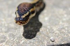 Ballpythonschlangenschlange Stockbild
