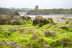 Ballybunion城堡海藻盖了岩石 免版税库存照片