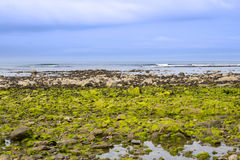 Ballybunion beach seaweed covered rocks Royalty Free Stock Images