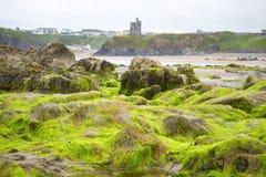Ballybunion castle algae covered rocks. Seaweed covered rocks with castle and cliffs on ballybunion beach in county kerry ireland Royalty Free Stock Photo