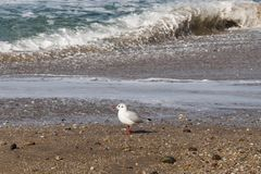 A Seagull at Ballycastle beach, Northern Ireland. Ballycastle Beach is a popular tourist destination located on the Causeway Coastal Route on the Antrim Coast stock photo