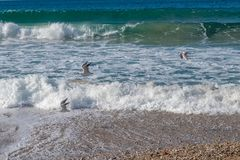 Seagulls at Ballycastle beach, Northern Ireland. Ballycastle Beach is a popular tourist destination located on the Causeway Coastal Route on the Antrim Coast royalty free stock photography