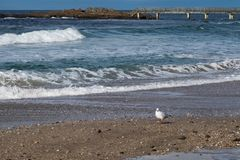 A Seagull at Ballycastle beach, Northern Ireland. Ballycastle Beach is a popular tourist destination located on the Causeway Coastal Route on the Antrim Coast stock images