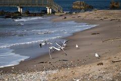Seagulls at Ballycastle beach, Northern Ireland. Ballycastle Beach is a popular tourist destination located on the Causeway Coastal Route on the Antrim Coast stock photos