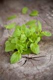 Balm herb Stock Photos