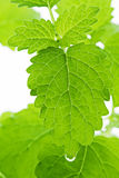 Balm Leaves Royalty Free Stock Image
