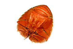 Balmain Bugs Royalty Free Stock Image