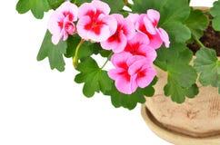 Balmy Geranium flower. Isolated on white background royalty free stock photo
