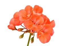 Balmy Geranium flower. Isolated on white background royalty free stock photos