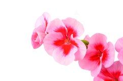 Balmy Geranium flower. Isolated on white background royalty free stock photography