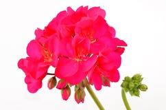 Balmy Geranium flower. Isolated on white background royalty free stock image