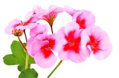 Balmy Geranium flower. Isolated on white background stock photo