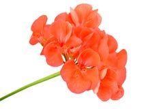 Balmy Geranium flower royalty free stock photography