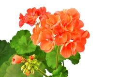 Balmy Geranium flower stock photography