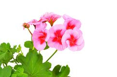 Balmy Geranium flower. Isolated on white background royalty free stock photography