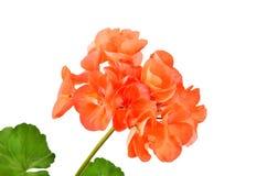 Balmy Geranium flower. Isolated on white background stock image