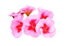 Balmy Geranium flower. Isolated on white background stock images