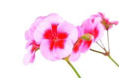 Balmy Geranium flower royalty free stock photo