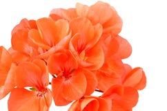 Balmy Geranium flower. Isolated on white background stock photos