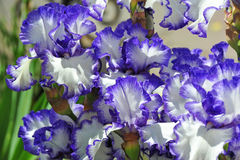 Balmy Iris flower Royalty Free Stock Photography