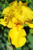 Balmy Irisblume Stockbilder