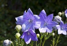 Balonowi kwiaty (Platycodon grandiflorus) zdjęcia stock