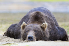 Baloo the bear. Brown bear taking it easy in warm sand Stock Photos