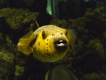 Baloon Fish. Swimming in the ocean sea royalty free stock photos