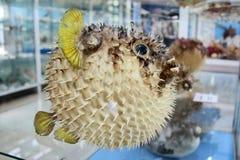 Baloon fish Stock Photos