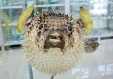 Baloon fish Royalty Free Stock Image