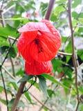baloon vermelho Fotografia de Stock