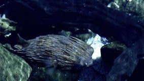 Baloonfish stock footage