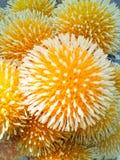 Balowi kształta koloru żółtego kwiaty Fotografia Stock