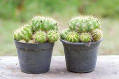 balowy kaktusowy złoty fotografia royalty free