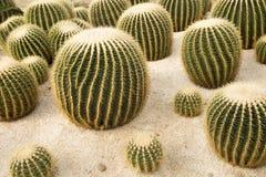 balowy kaktusowy złoty Zdjęcia Stock