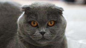 balowy kota fałdu scottish fotografia royalty free