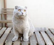 balowy kota fałdu scottish Zdjęcia Royalty Free