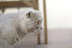 balowy kota fałdu scottish Zdjęcie Stock