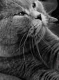 balowy kota fałdu scottish Zdjęcie Royalty Free