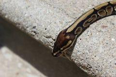 Balowy pytonu wąż Obrazy Royalty Free