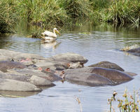 Balsa de hipopótamos y de un solo pelícano blanco en un agujero de riego Foto de archivo libre de regalías