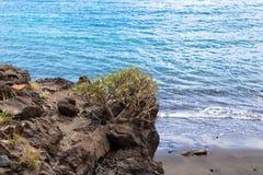 BalsamÃfera doce do eufórbio da planta do tabaiba que cresce nas rochas com fundo do mar Flora da Espanha das Ilhas Canárias - im imagens de stock royalty free