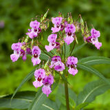 Balsam. Himalayan balsam plant flowering with  seed capsules ready to disperse Stock Image